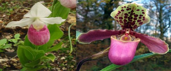 Cypripedium himalaicum Rolfe an Endangered Orchids