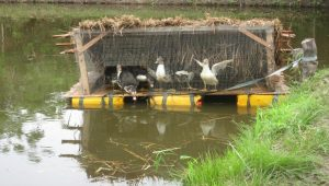 Fish-cumDuck farming