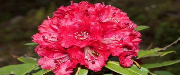 State Tree of Uttarakhand Burans(Rhododendron arboretum) UCBMSH