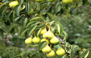 Effect of pre-harvest foliar spray of calcium and potassium on fruit quality of Pear cv. Pathernakh