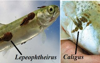 PARASITIC LEECHES AND COPEPODS ON FISH