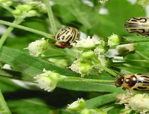 Zygogramma bicolorata Pallister: Feature beetle for biological suppression of Parthenium hysterophorus