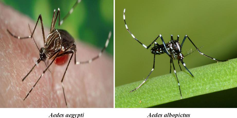 Aedes aegypti and Aedes albopictus