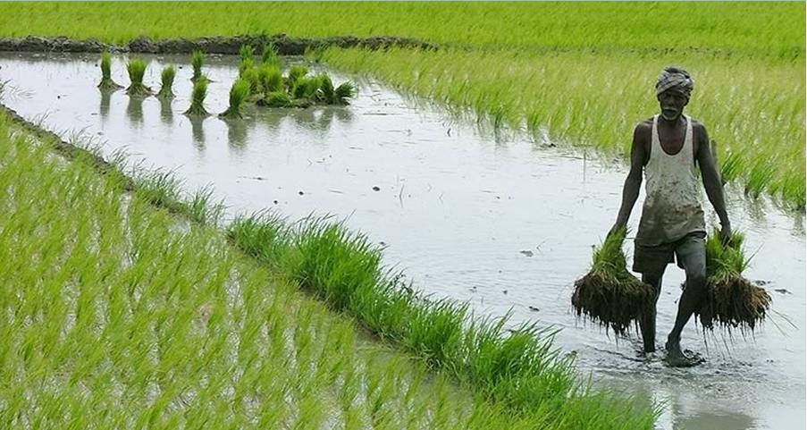 BASMATI RICE: FOR PROCPARIOUS LIFE OF FARMERS