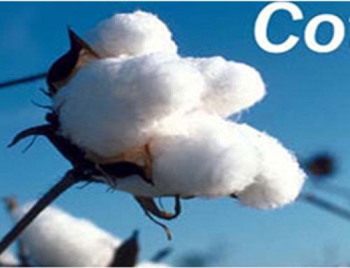Cotton variety which needs only 100 days to mature