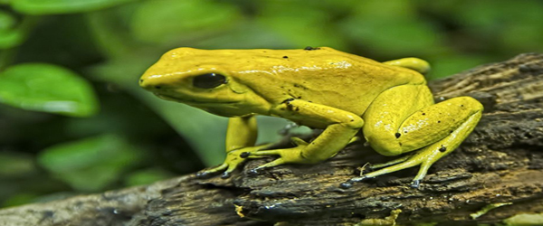GOLDEN POISON ARROW FROG FROM COLUMBIA