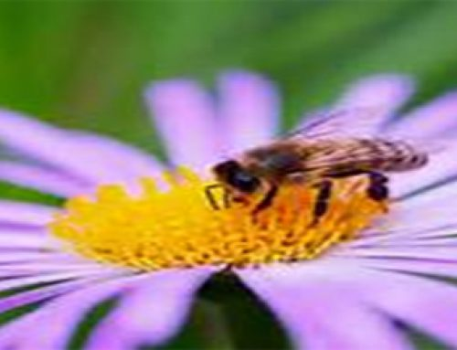 Conservation of Honey bee
