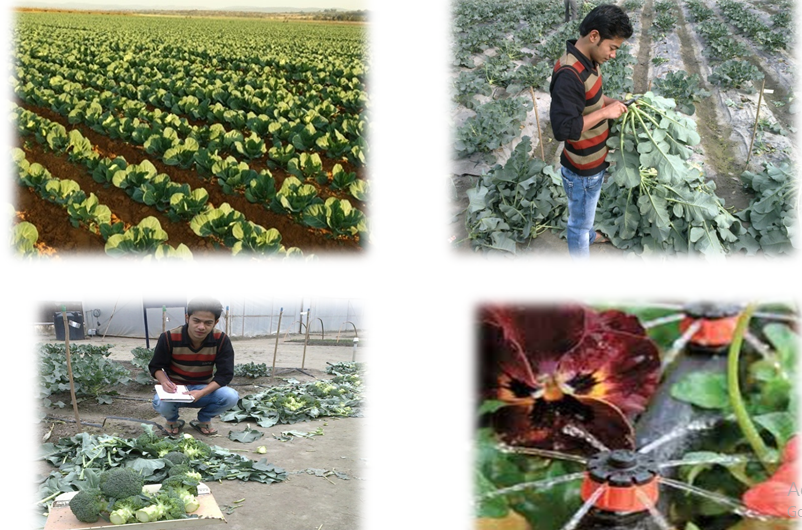 Drip Irrigation Save Water n Icrease Yield In Broccolis