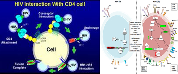Immunological aspect of CD4+ cells