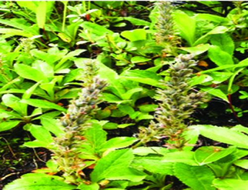 Picrorhiza kurrooa: An important endangered herb of Himalayas