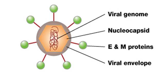 Structure of Dengue virus