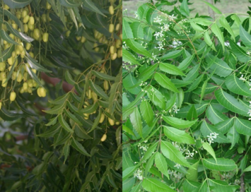 Neem – A miracle Tree