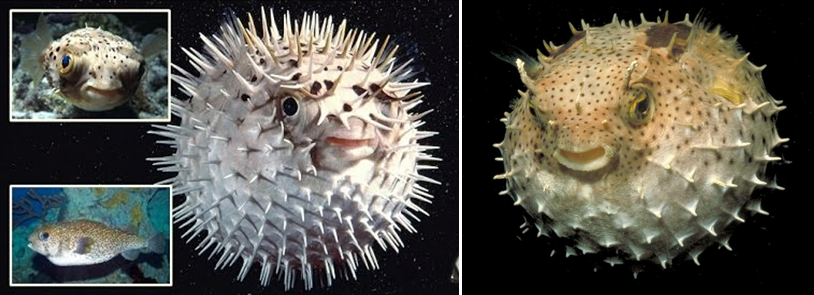 PUFFER FISHES