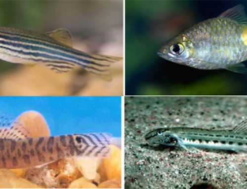 Ornamental Fish Diversity From The Streams Of Doon Valley