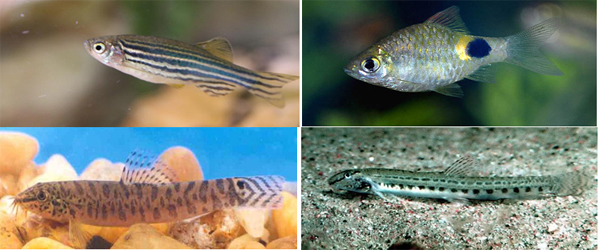 Ornamental Fish Diversity From The Streams Of Doon Valley|UCBMSH.ORG
