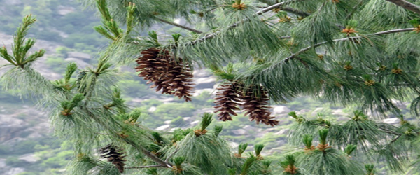 Chir Pine-Incredible Gift of Mother Nature