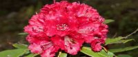 Health benefits of Burans: Rhododendron arboreum