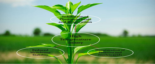 High Temperature Stress in Plants