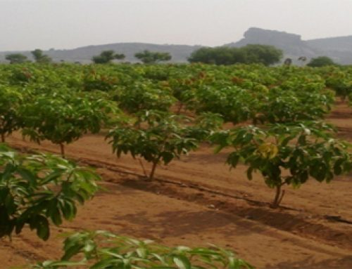 Rejuvenation of Mango Orchard