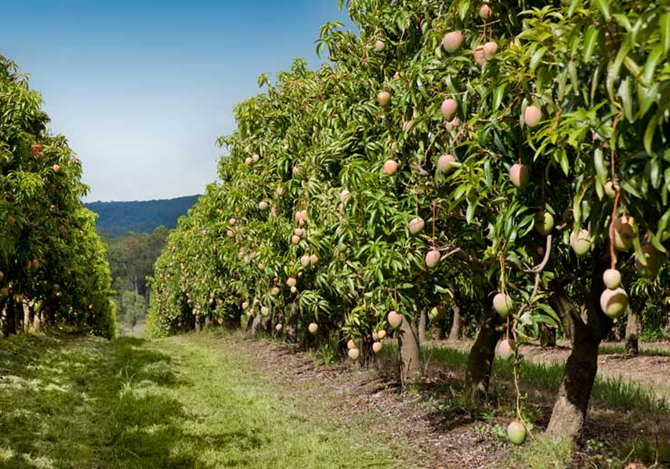 Rejuvenation of Mango Orchard