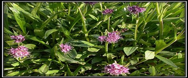 Nardostachys jatamansi-A Potential Medicinal Herb of Himalayas