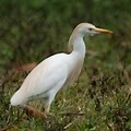Mutualistic nature of Egret, Indian Bird