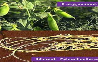 Legumes- Importance In Crop Rotation