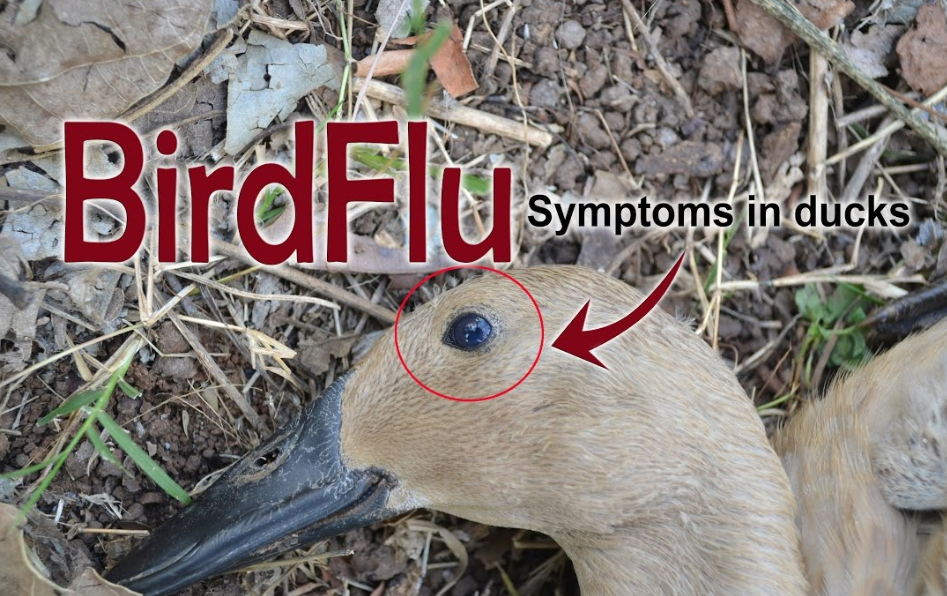 How to Identify Bird Flu Symptoms in Chickens